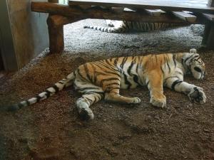 tiergarten_tiger